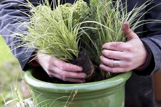 Cyclamen, carex, ivy and skimmia pot display - adding plants