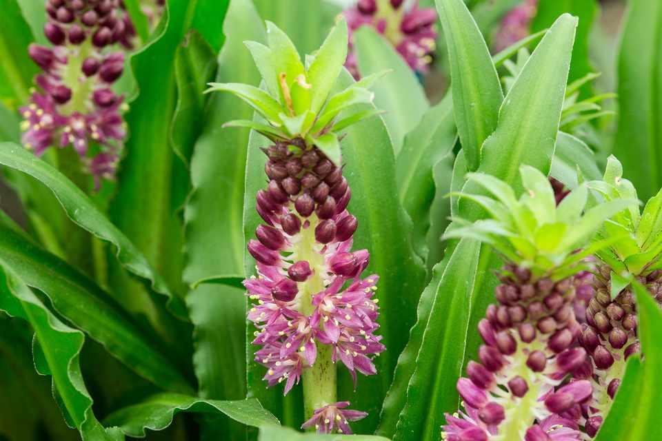 Pineapple lily (Eucomis)