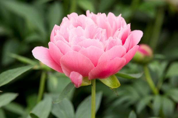 'Pink Hawaiian Coral' peony bloom