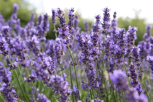 A mass of mauve lavender blooms