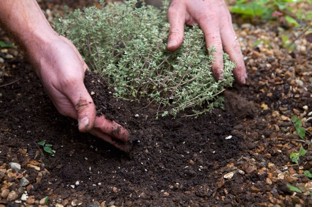 planting-a-thyme-plant