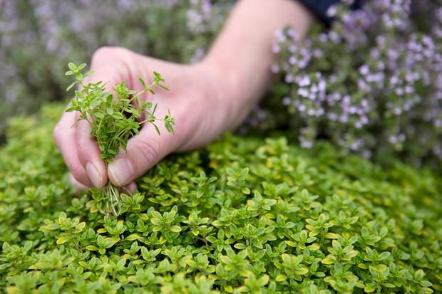 Harvesting thyme leaves