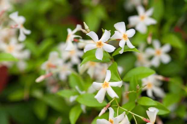 plants-for-a-jungle-style-border-jasmine-2