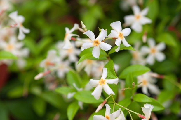 plants-for-a-jungle-style-border-jasmine-2