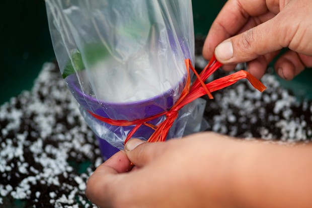 Taking softwood cuttings - covering with a polythene bag