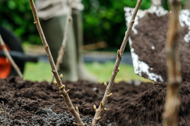 How to plant a shrub - adding mulch