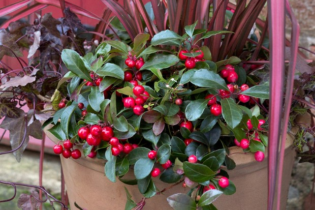 wintergreen-gaultheria-procumbens-2
