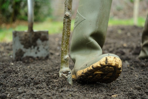 How to plant a tree - firming around the rootball