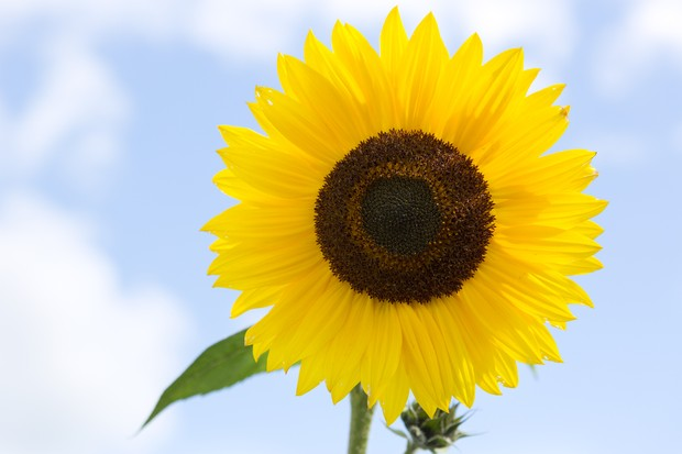 Classic sunflower 'Russian Giant'