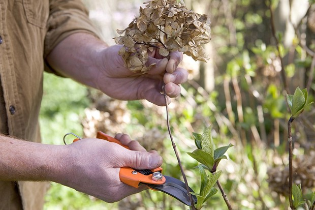 When is the best time to prune hydrangeas