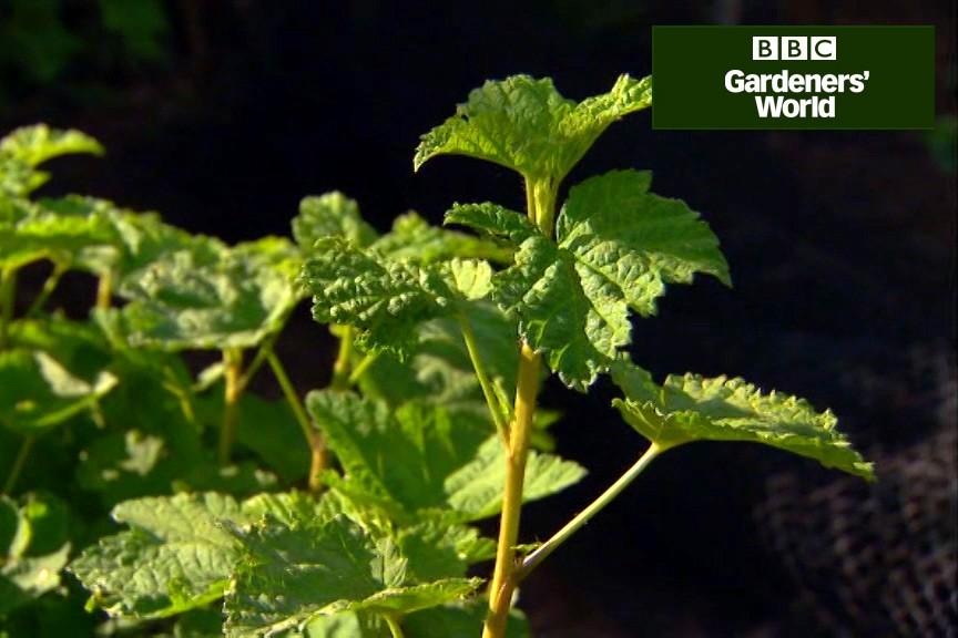 How to prune redcurrants video