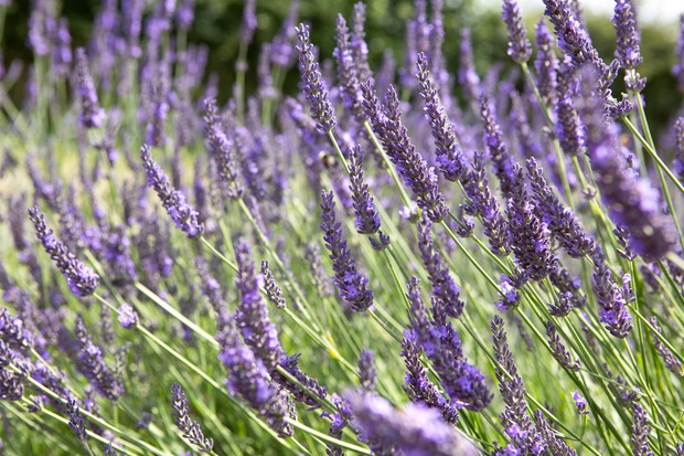Purple-blue lavender flowers