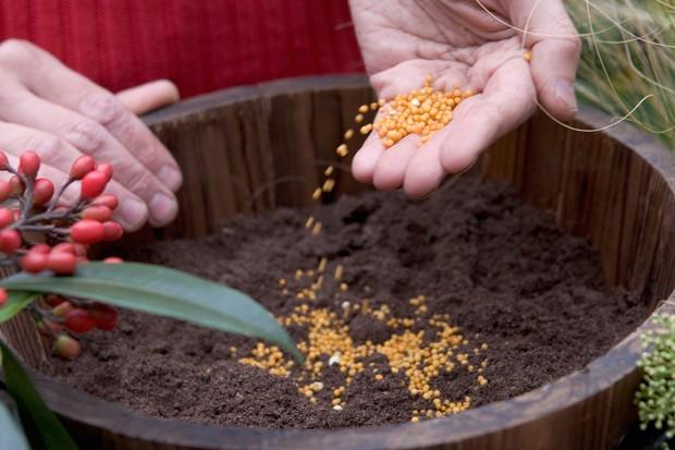 Skimmia pot display - adding fertiliser