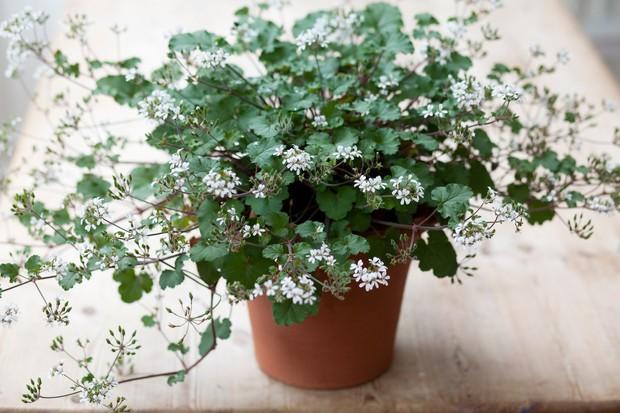 pelargonium-australe-2