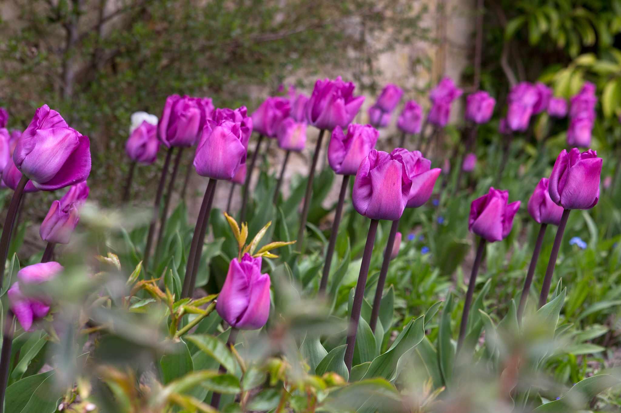 Tulip 'Magic Lavender'