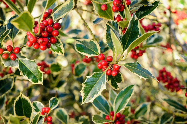 variegated-holly-7