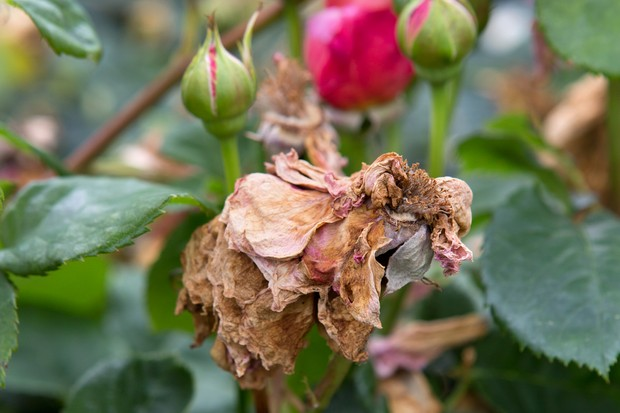 A withered rose bloom that has perished due to rose bloom balling