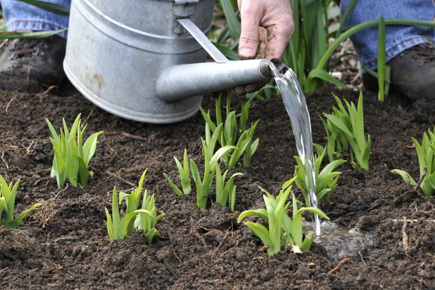 watering-in-freshly-divided-perennials-2