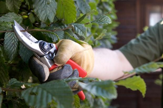 pruning-large-leaved-hedges-2