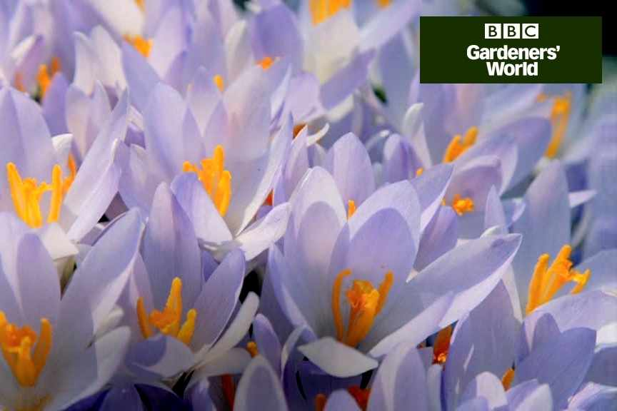 How to plant crocuses in borders