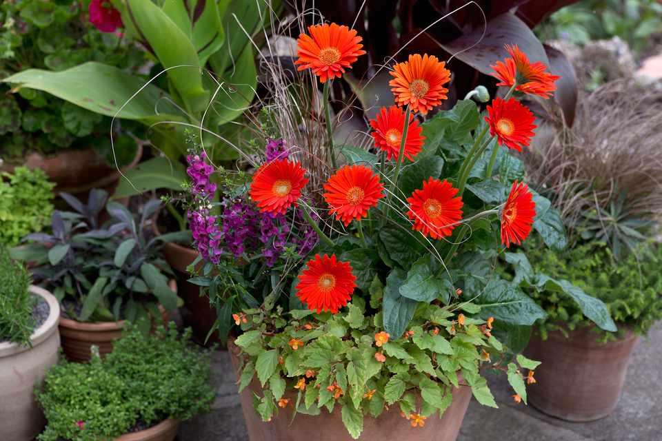 Begonia, gerbera and carex container
