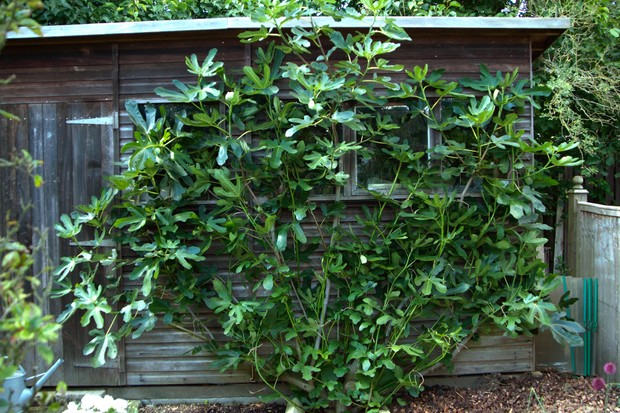 Fig tree against a shed