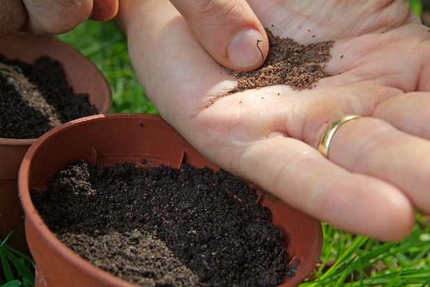 How to collect and sow foxglove seed - sowing the seed into fresh compost