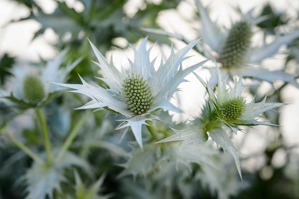 10 Plants with Silver or Grey Foliage - BBC Gardeners' World