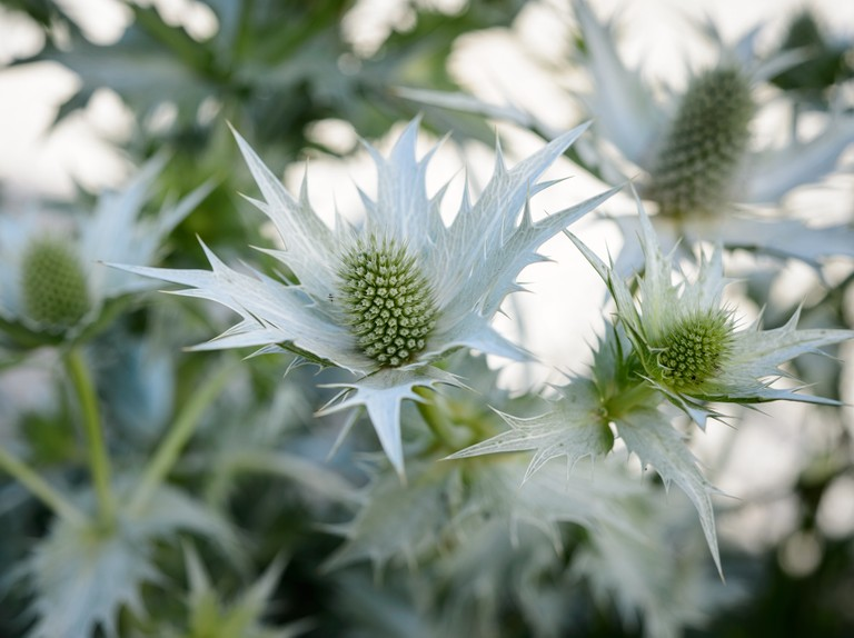 10 Plants With Silver Or Grey Foliage Bbc Gardeners World Magazine,Tall Bedside Cabinets Uk