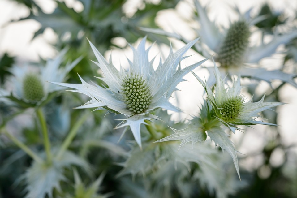 10 Plants With Silver Or Grey Foliage Bbc Gardeners World Magazine