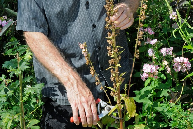 How to collect and sow foxglove seed - collecting the seed