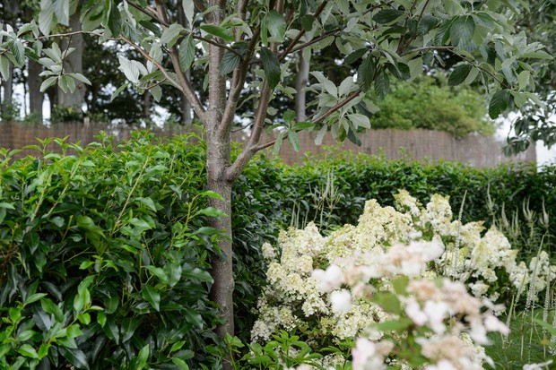 prunus-lusitanica-angustifolia-hedge-3