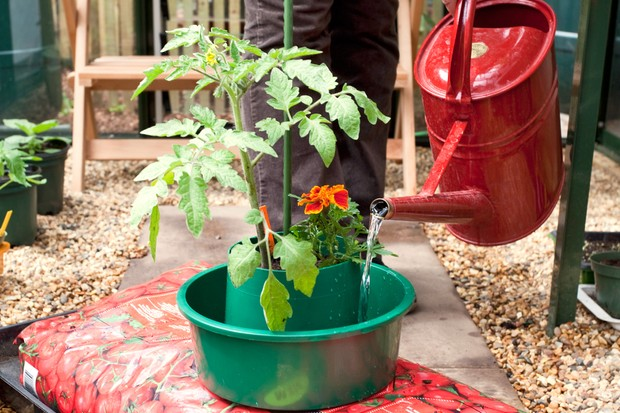 watering-a-tomato-plant-in-a-growing-ring-2