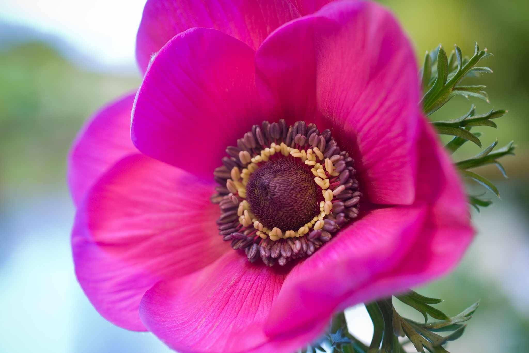 Anemone 'Sylphide'