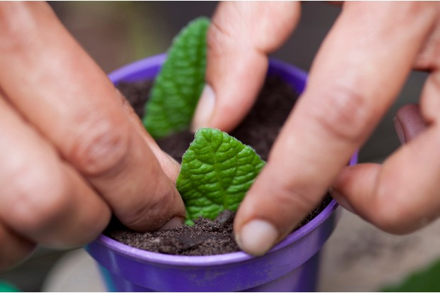 Inserting streptocarpus leaf cuttings into compost