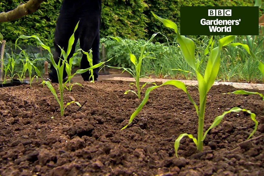 How to plant sweetcorn outdoors video