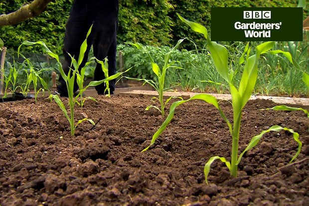 How to plant sweetcorn outdoors