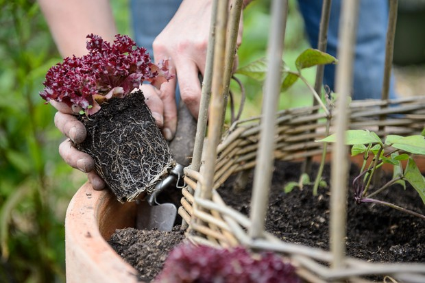 Planting the lettuce