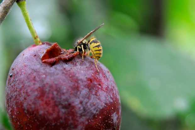 wasp-on-a-plum-2
