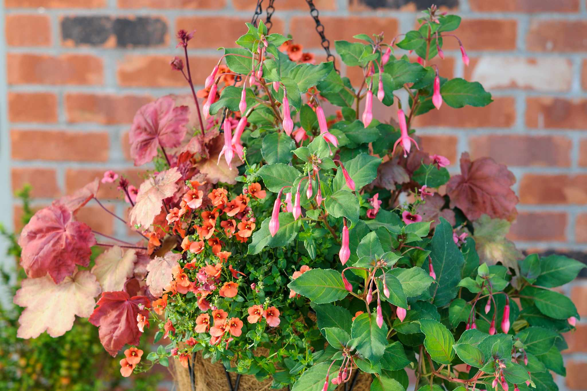 Diascia, heuchera and fuchsia hanging basket