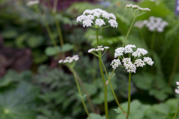 White flowers of Scots lovage