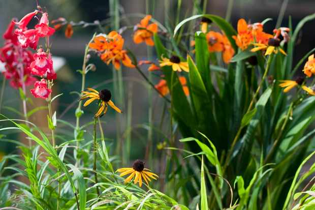 Crocosmia, penstemon and rudbeckia pot display