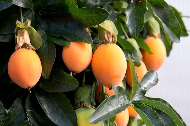 passion-fruits-2