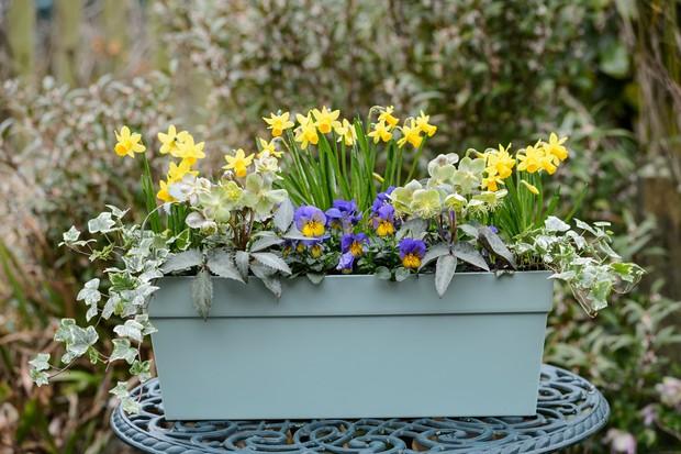 miniature-daffodils-in-window-box-3