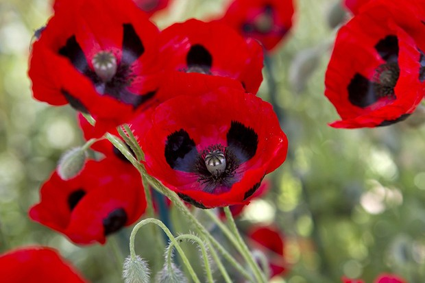 Can poppies be transplanted?