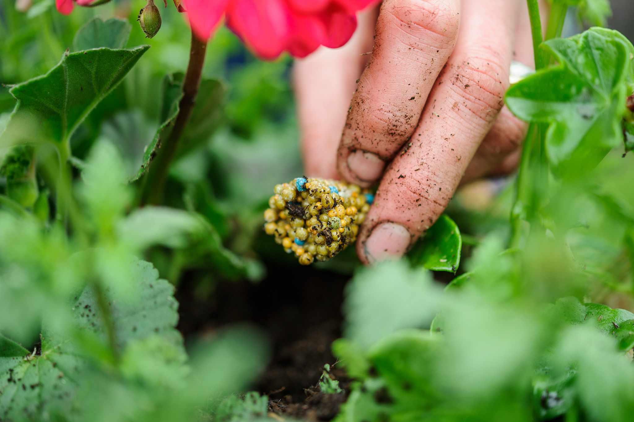 Placing a block of slow-release granular fertiliser onto the soil beside a geranium