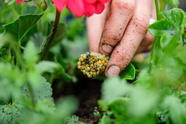 Placing a block of slow-release granular fertiliser onto the soil beside a geranium