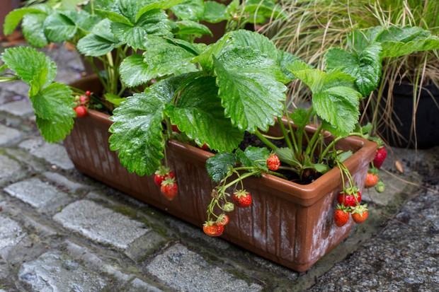 strawberries-growing-in-window-box-3