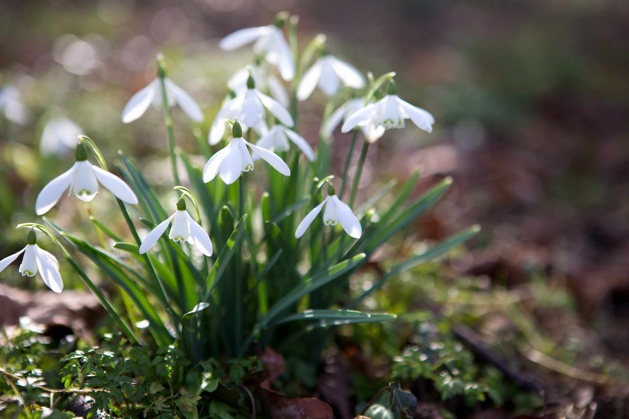 A clump of flowering snowdrops with sunlight shining through them