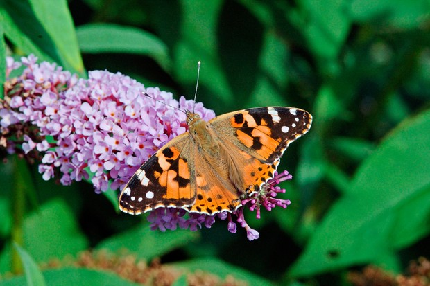 painted-lady-butterfly-credit-butterfly-conservation-www-butterfly-conservation-org-2